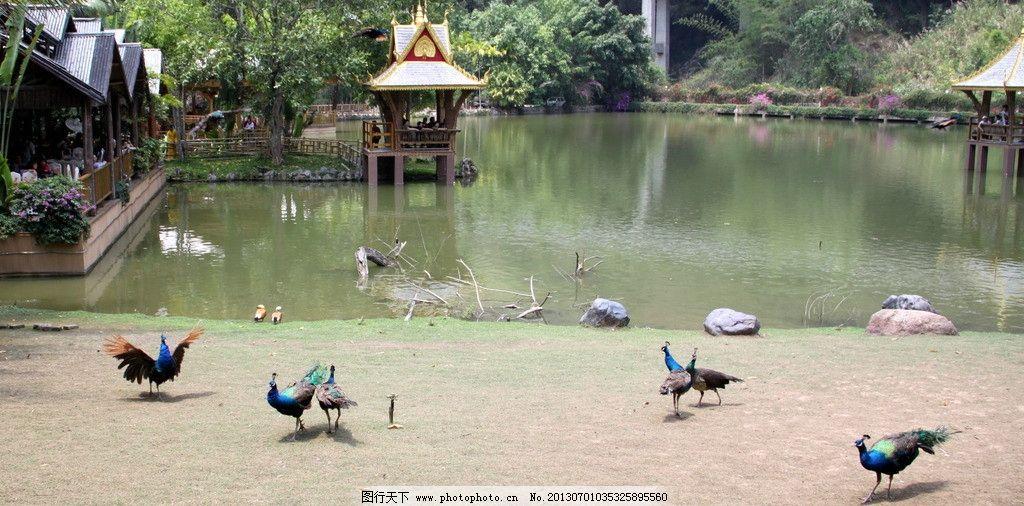 云南风光 云南 西双版纳 原始森林公园 孔雀山庄 孔雀 鸟类 生物世界