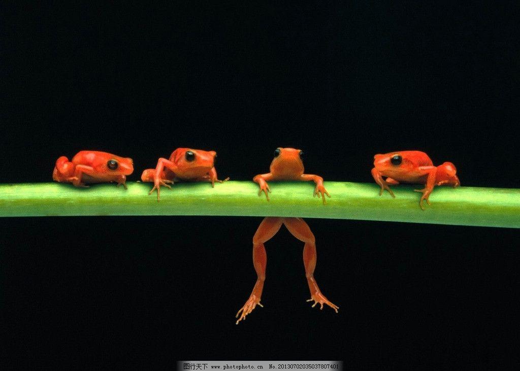 青蛙 四只青蛙 红色 橙色 箭毒蛙 毒蛙 热带雨林 趴着 保护动物 保护