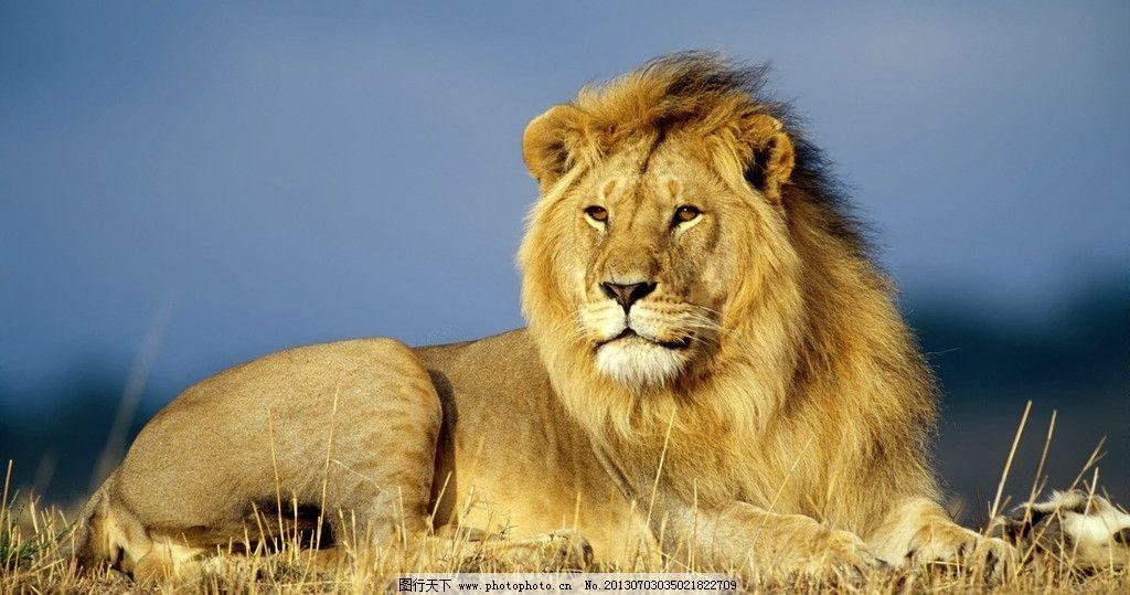 卧狮 非洲 大草原 雄狮 卧起 狮毛 野生动物 生物世界 摄影 72dpi jpg