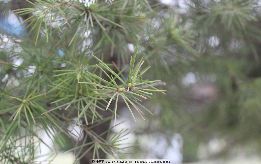 萌芽 新生命 松树 柏树 青绿 树木树叶 生物世界 摄影 72dpi jpg