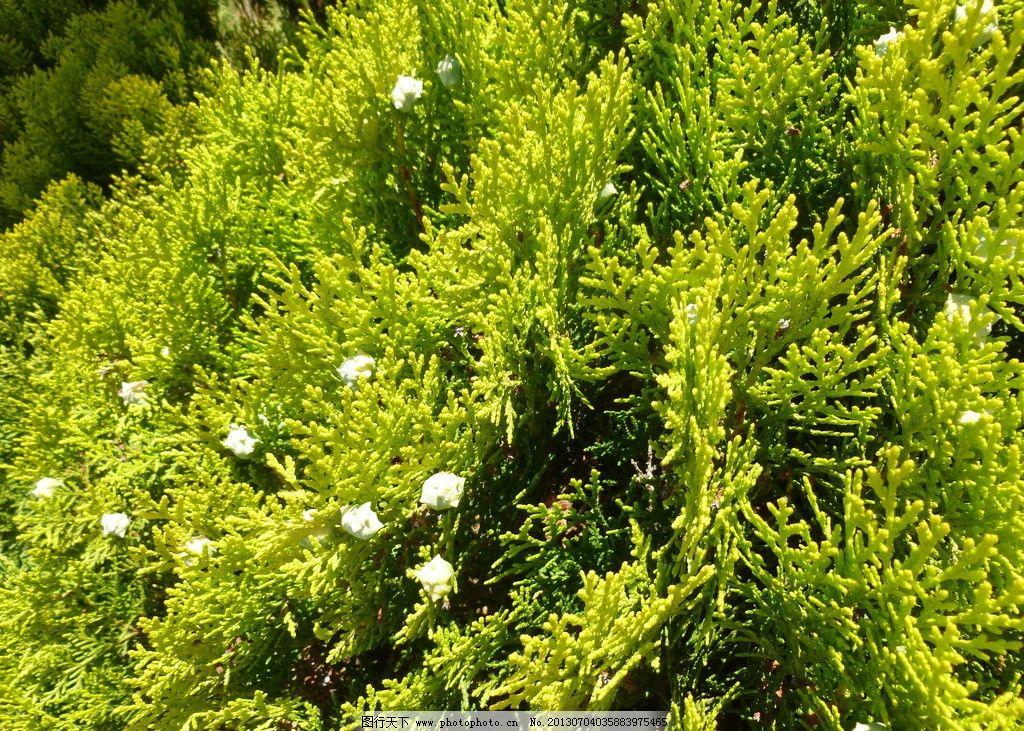 背景森林图片 花朵 白花 松林 森林 绿色 针叶林 风景图片 树木树叶