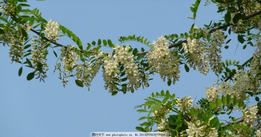 白色槐树花图片