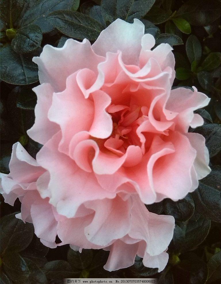 杜鹃 摄影花 杜鹃花 花 写真花 花卉 花草 生物世界 摄影 72dpi jpg