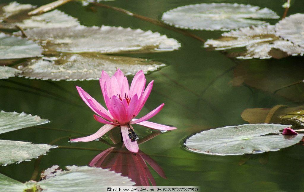 水中荷 荷花 莲花 荷叶 水 花卉 虾仁 花草 生物世界 摄影 350dpi jpg