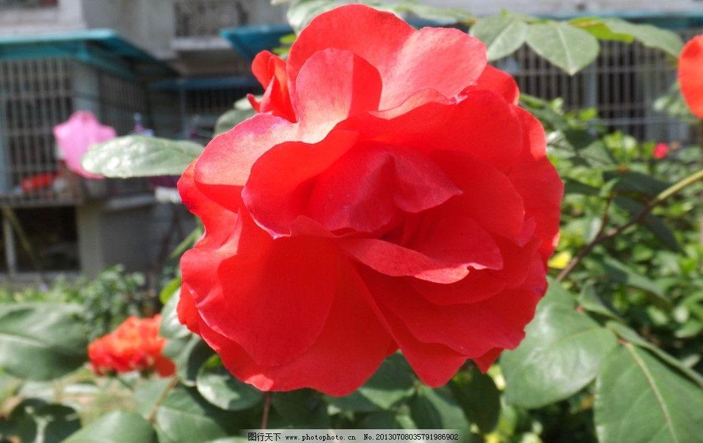 玫瑰花 漂亮花 绿叶 花瓣 花包 花草 红色花 花朵 生物世界图片