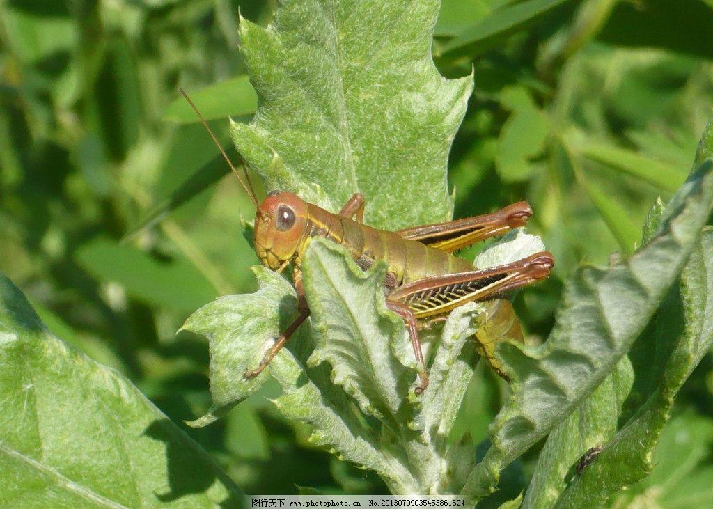 蝗虫 蚂蚱 刺菜 小动物 自然 昆虫 生物世界 摄影 72dpi jpg