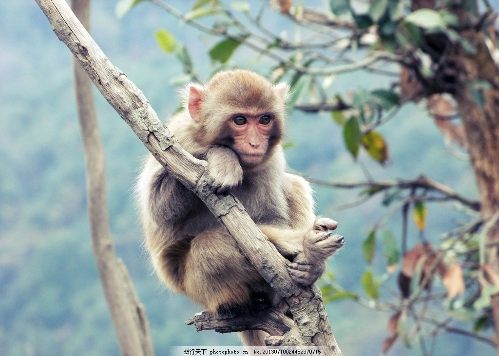 猴子 黄山太平湖 猴岛 表情 爬树 野生动物 生物世界 摄影 72dpi jpg