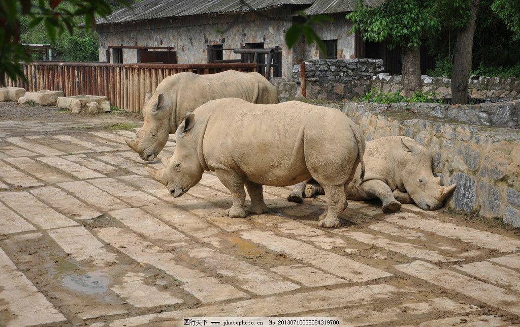 白犀牛 野生动物 动物园 生物世界 摄影