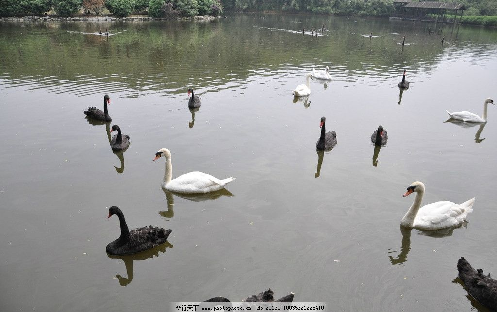 天鹅湖 白天鹅 黑天鹅 鸟类 杭州野生动物园 生物世界 摄影