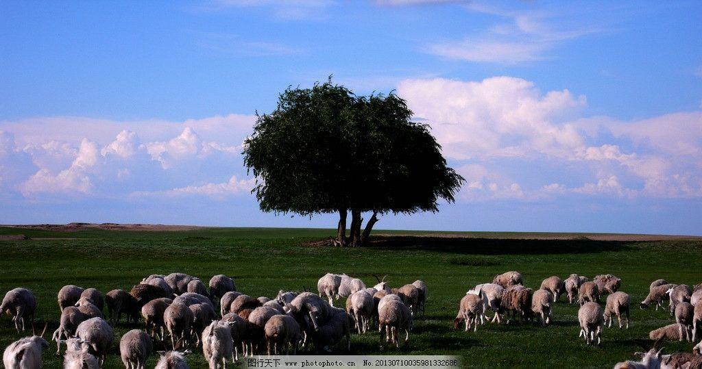 内蒙草原 内蒙羊群 内蒙草原羊群