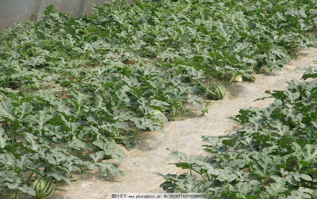 西瓜 蔬菜 园艺 立体种植 水果 大棚 树木 农业 农业生产 现代科技
