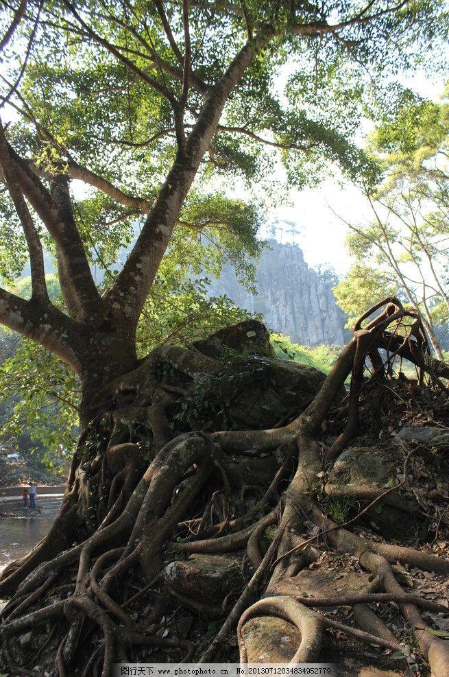 榕树 树根 榕树根 小叶榕 树木 自然风景 自然景观 摄影 72dpi jpg
