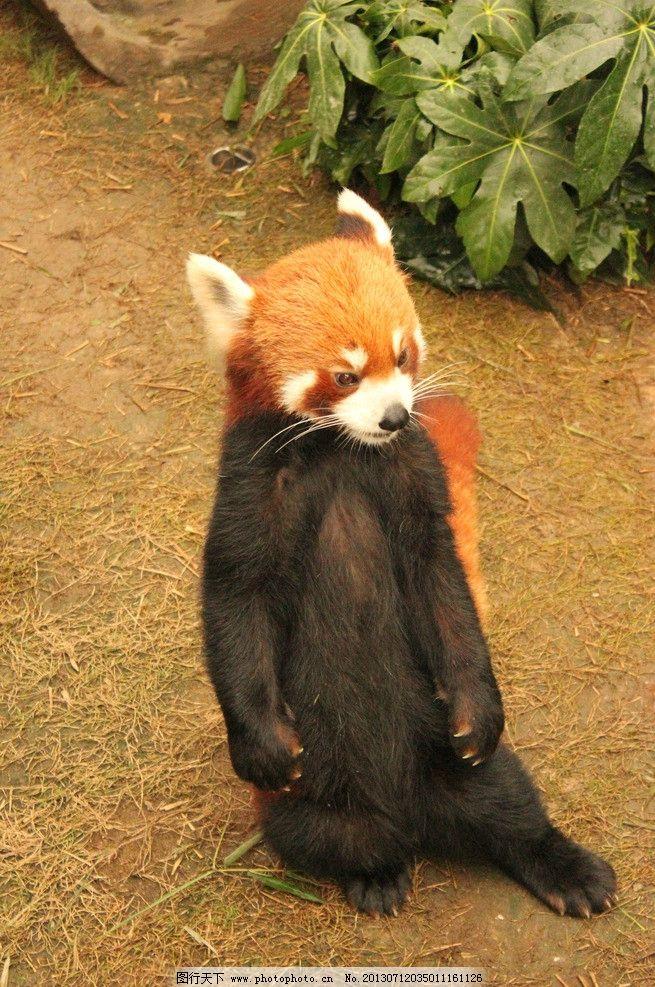 小熊猫 站立的动物 香港海洋馆 萌物 可爱动物 胡子 功夫熊猫 野生