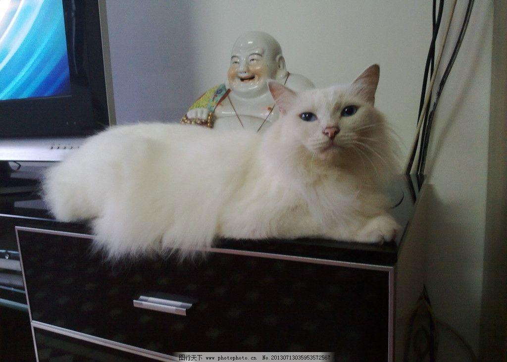 猫猫 可爱 动物 白色猫 长毛猫 宠物 家禽家畜 生物世界 摄影 300dpi