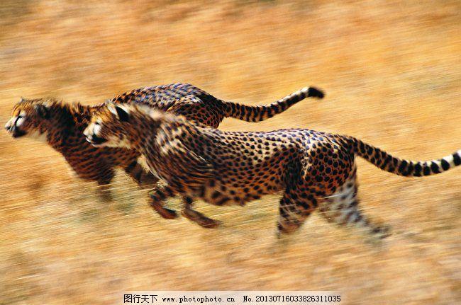 金钱豹免费下载 奔跑 金钱豹 野生动物 野生动物 凶猛野兽 金钱豹