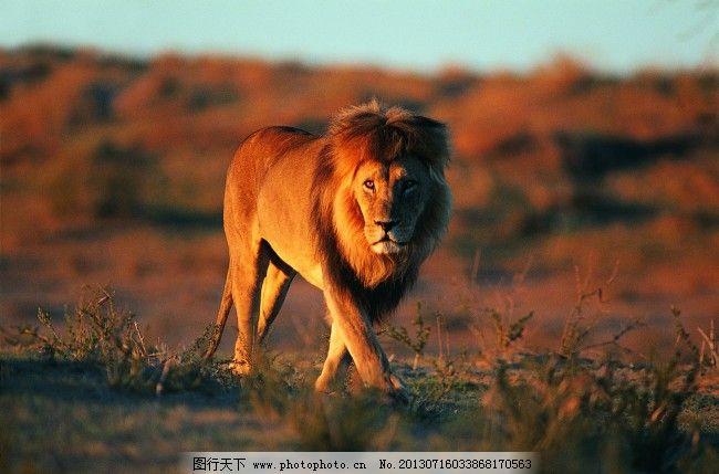 公狮子 捕食 草原 公狮子免费下载 非洲大草原 猎食 凶猛野兽