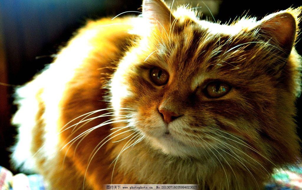 摄影猫咪 猫咪 可爱动物 宠物 猫 黄色花斑猫 家禽家畜 生物世界 摄