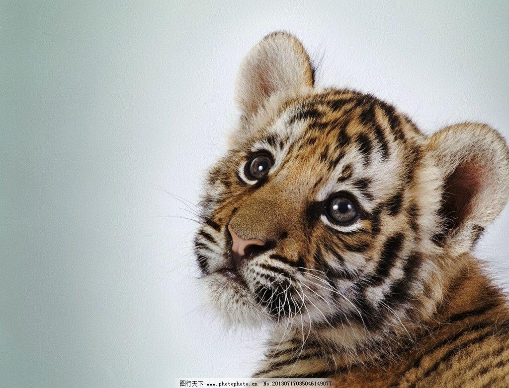 虎背景 老虎 背景 野生动物 生物世界 摄影 72dpi jpg