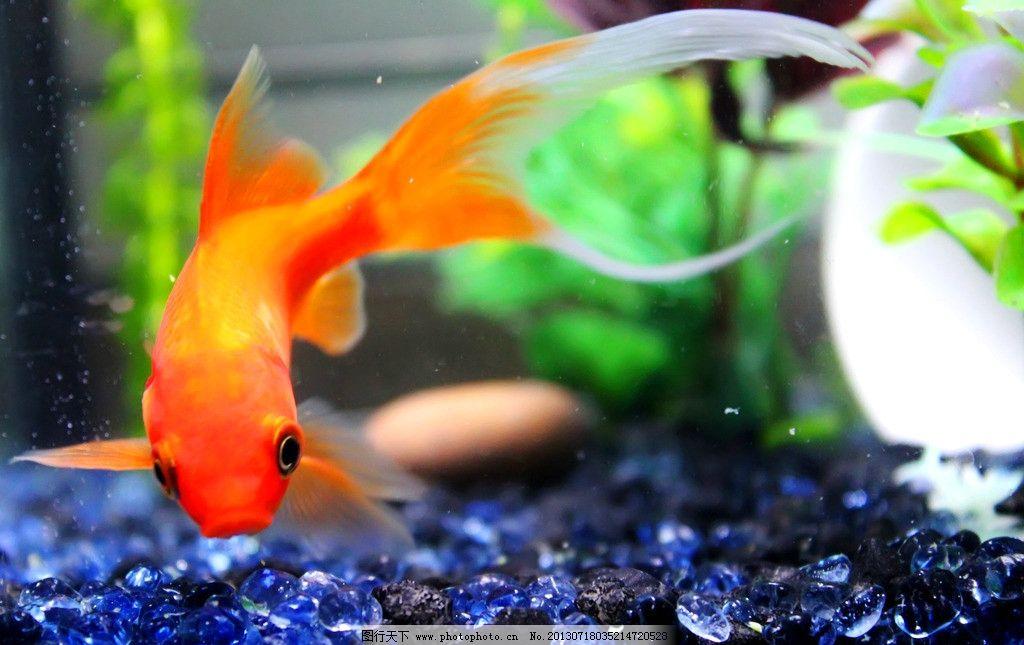 金鱼 水生动物 鱼类 鱼 观赏鱼 金鲫鱼 宠物鱼 金鱼图片 金鱼素材