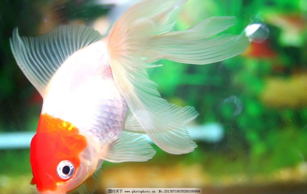 我家公主最可爱金鱼