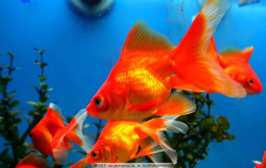 金鱼 水生动物 观赏鱼 金鲫鱼 宠物鱼 金鱼素材 摄影