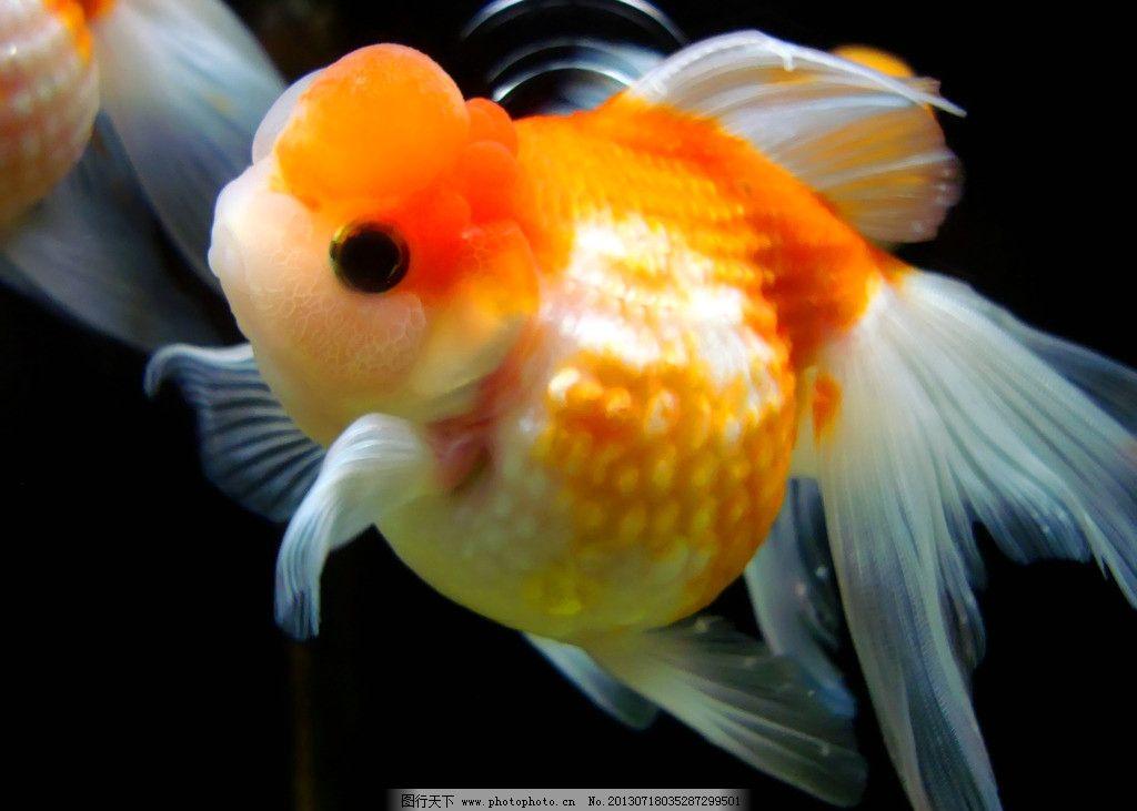 金鱼 水生动物 鱼类 观赏鱼 金鲫鱼 宠物鱼 金鱼素材 生物世界