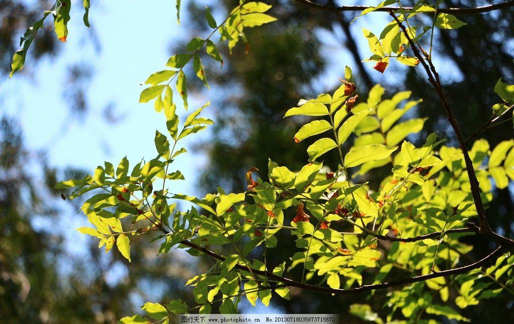 树叶 树荫 晨光中的树叶 光影 树叶光影 树木树叶 生物世界 摄影 72