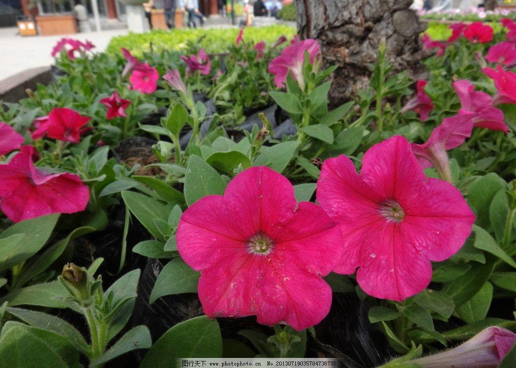 植物 花朵 公园 红花 花草 生物世界 摄影 350dpi jpg