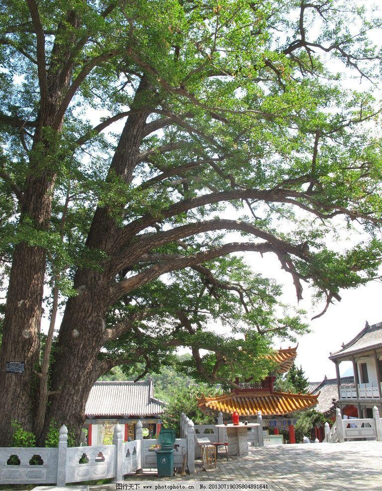 河南鲁山文殊寺 鲁山 银杏树 古树 寺院 文殊寺 树木树叶 生物世界