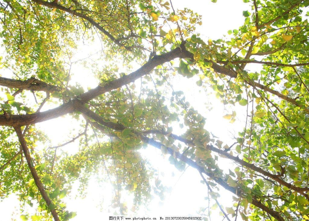 银杏树叶上的日光 天空 银杏树 绿色树叶 树干 日光 仰望 穿透 树木