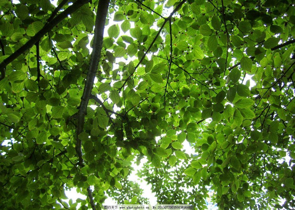 树叶 绿叶 叶子 绿色 阳光 透过 树枝 一片 绿荫 树木树叶 生物世界