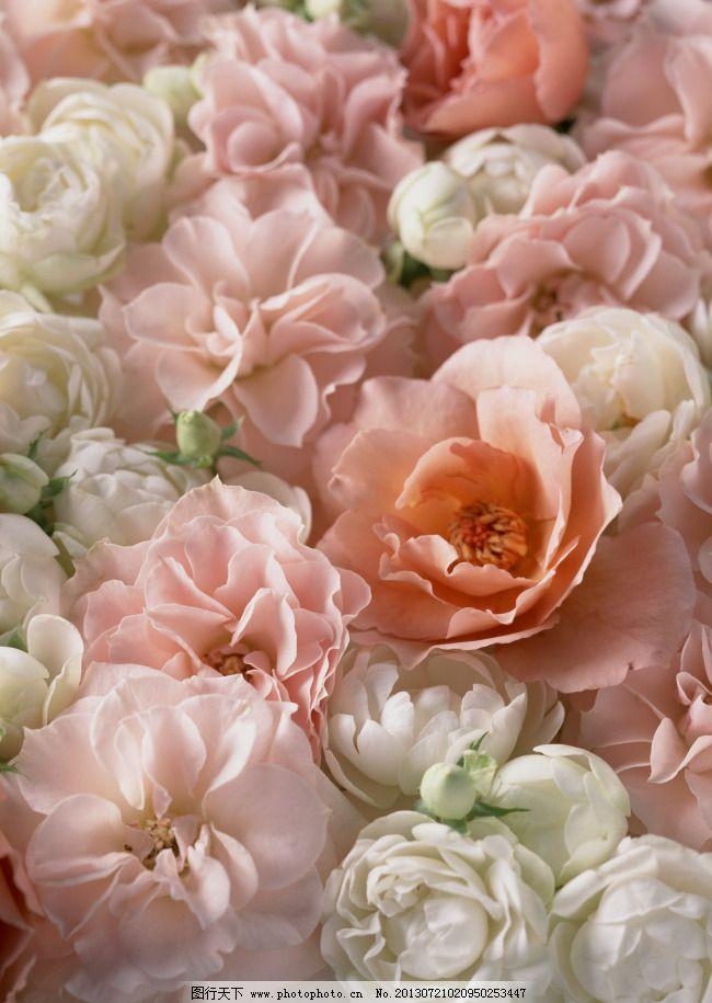 高清鲜花背景 高清鲜花背景免费下载 淡雅 清新 图片素材 背景图片