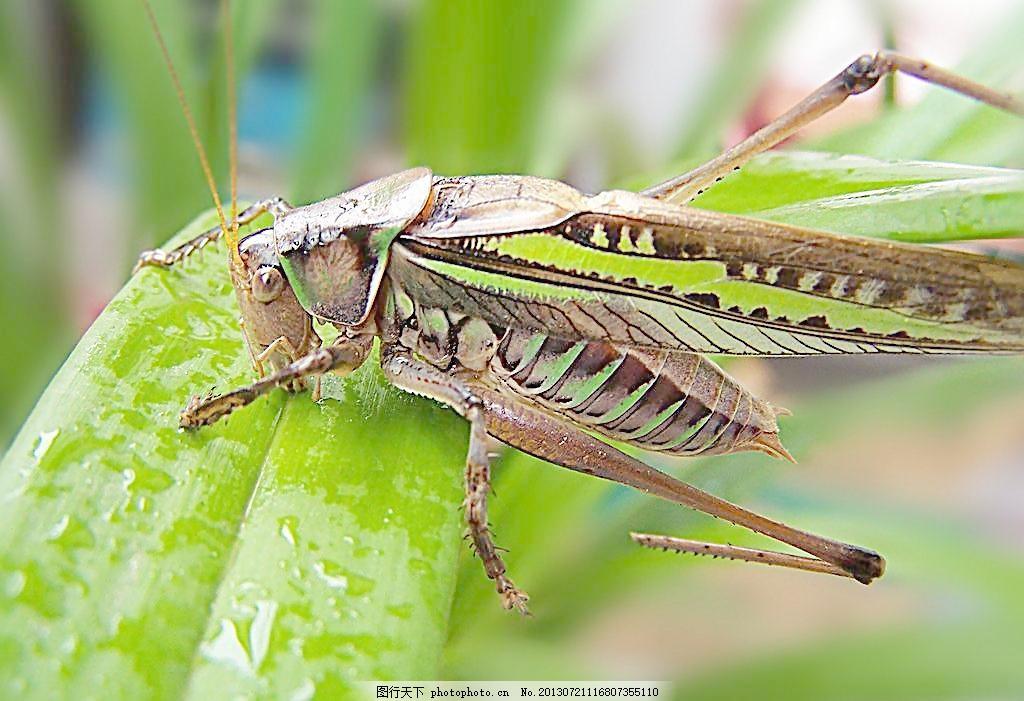 蝈蝈吸水 摄影 原创图片 生物 动物 昆虫 节肢动物 昆虫蝈蝈