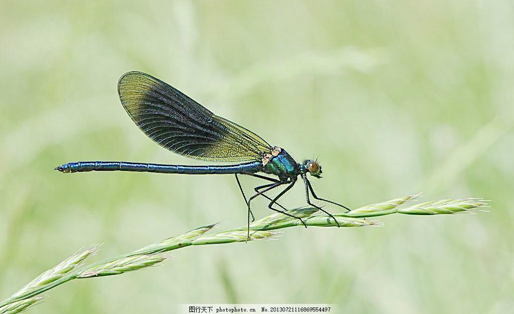蜻蜓 摄影 生物 动物 昆虫 生物世界 300dpi jpg 黄色