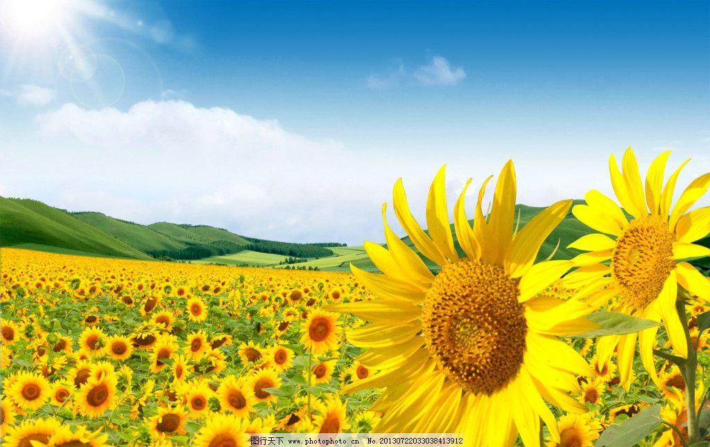 花草/向日葵种植园图片