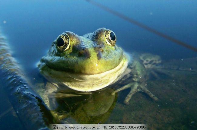 青蛙免费下载 生物特写 动物特写 水陆两栖 水中青蛙 图片素材 生物世