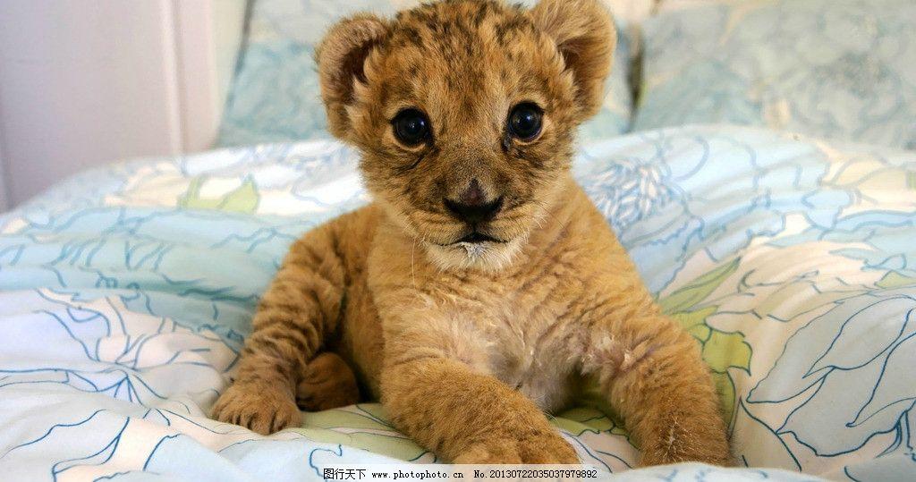 小狮子 幼狮 狮子 狮子崽 可爱 动物 猫科动物 野生动物 生物世界
