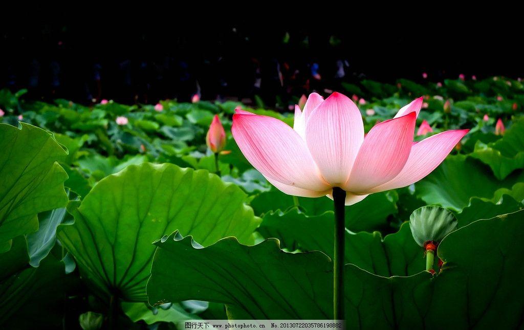 荷花 莲池 荷塘 夏荷 莲花 花卉 花卉素材 植物 摄影