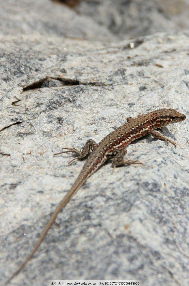 蜥蜴 马蛇子 四脚蛇 野生 岩石 野生动物 生物世界 摄影