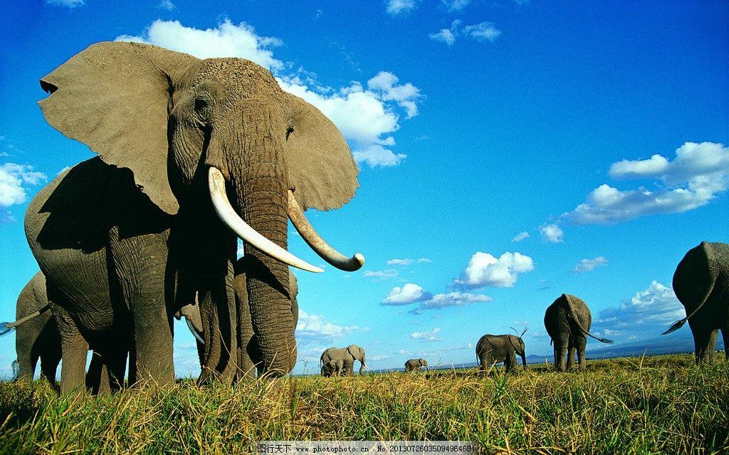 草地象群 大象 山峰 蓝天 白云 野生动物 生物世界 摄影