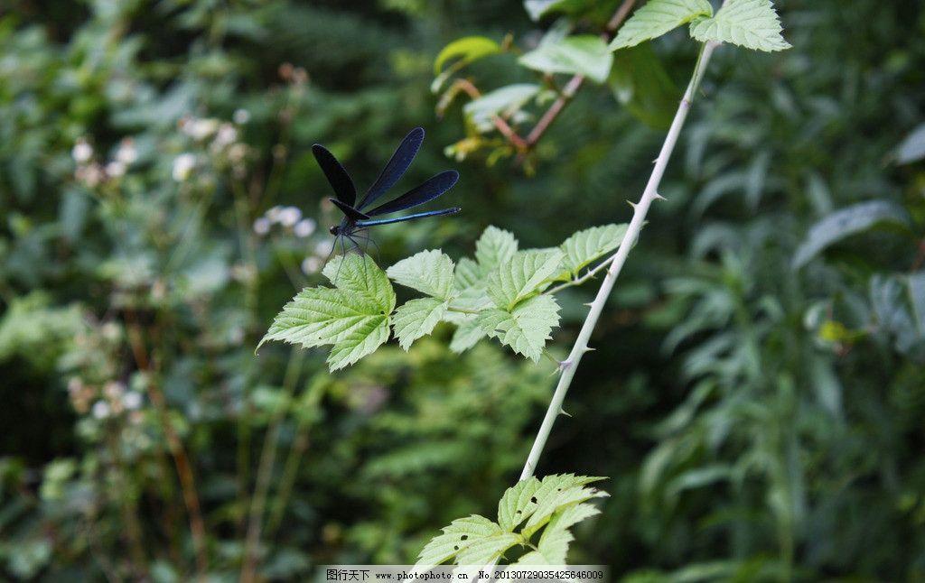 豆娘 小蜻蜓 黑色蜻蜓 绿叶 小动物 树叶 昆虫 生物世界 摄影 72dpi