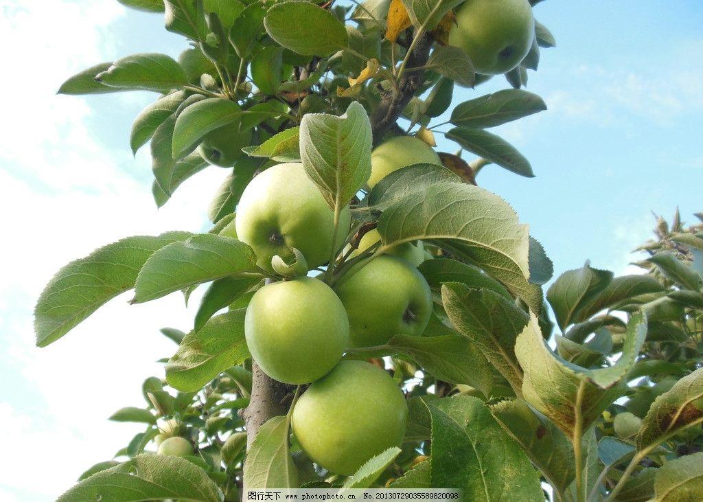 苹果 苹果树 青苹果 果树 果实 可口 丰收 水果 生物世界 摄影 300dpi