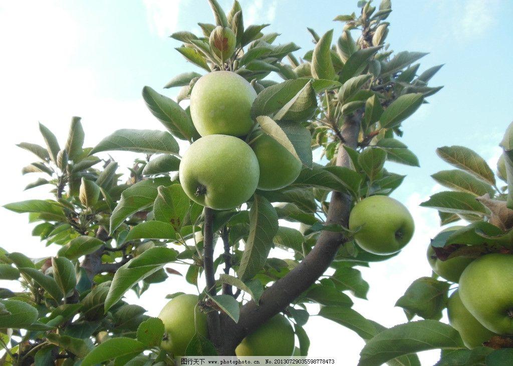 苹果 苹果树 青苹果 果实