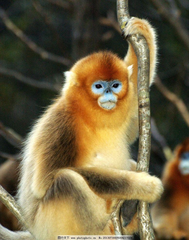 金丝猴 金丝猴图片素材下载 动物 保护动物 动物园 觅食 哺乳动物