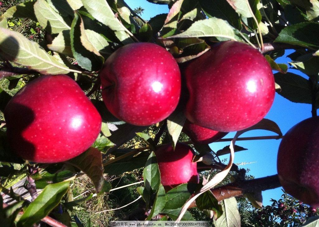 苹果 红苹果 果实 苹果树 苹果园 水果 美食 美味 生物世界 摄影 72