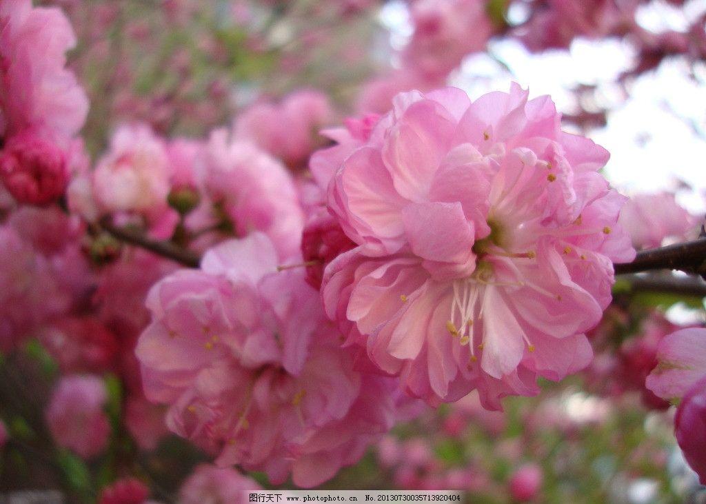 桃花 花朵 粉色 枝头 春天 花草 生物世界 摄影