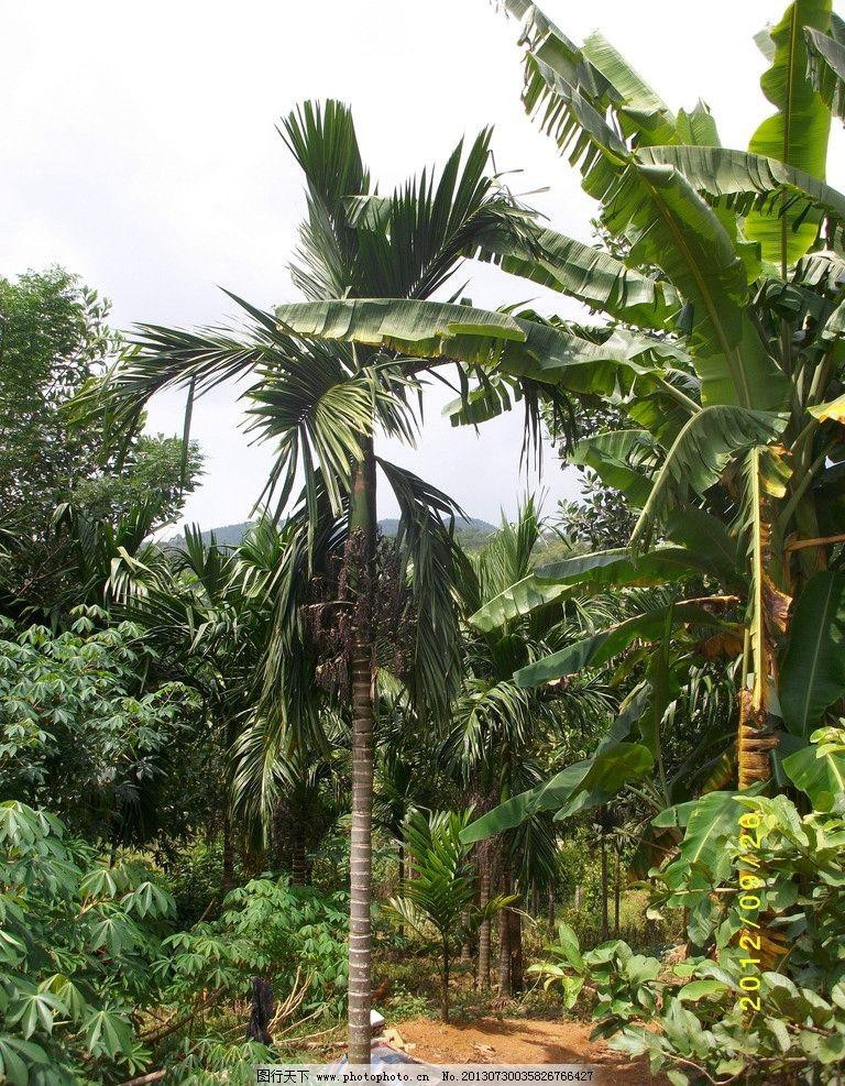 海南定安风光 海南 热带 风光 定安 槟榔树 树木树叶 生物世界 摄影