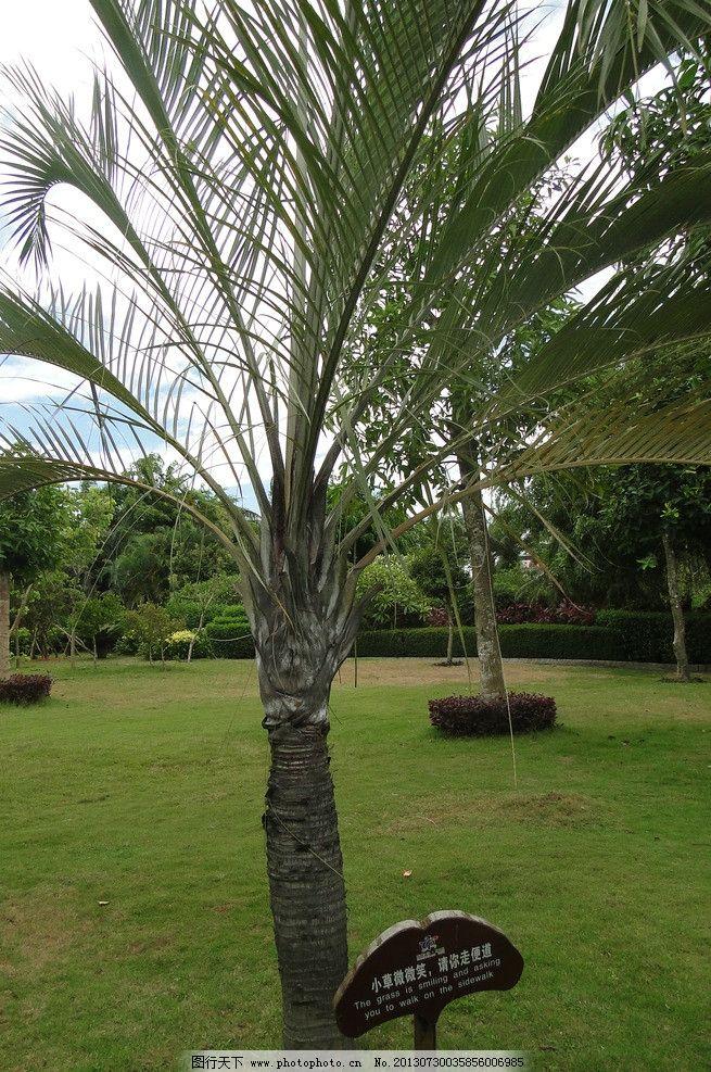 椰子树 植物 草地 勿踩草坪提示 树 热带植物 树木树叶 生物世界 摄影