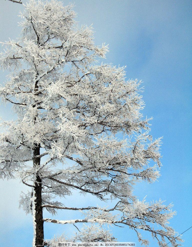 迎雪松 蓝天 白云 严寒 零下40度 雪花 松树 树枝 大兴安岭 阿尔山
