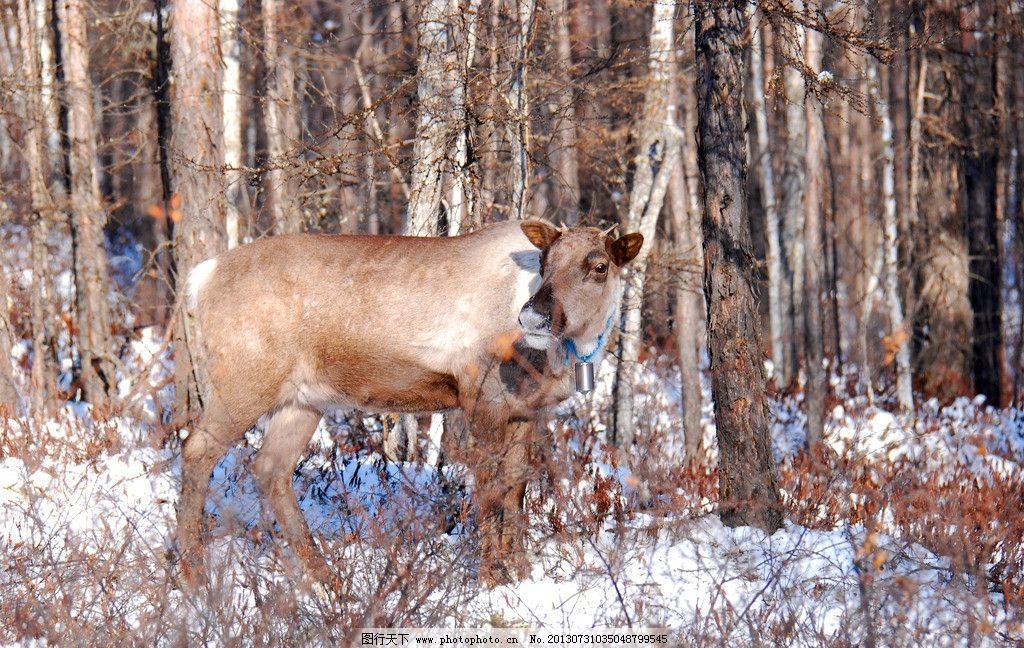 冬季猎民点的驯鹿 根河市 冬天 猎民点 驯鹿 四不象 角鹿 野生动物